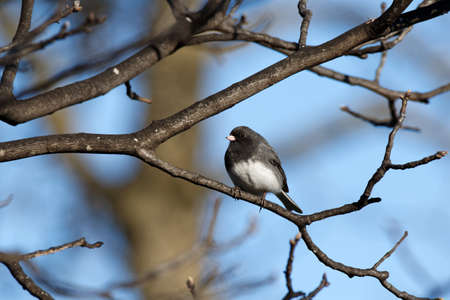 grey eyed: A Dark-Eyed Junco (Slate-Colored) perches on a tree branch. These sparrows migrate to Iowa for the winter and head back north in mid-April.