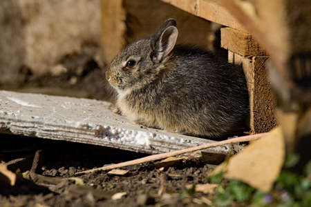 leporidae: A young Eastern Cottontail Rabbit sits in the sun. This species can be seen in both urban and rural areas.