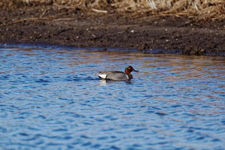 Chichaqua Bottoms Greenbelt의 녹색 날개가 달린 티크 드레 이크가 물 위에 떠 있습니다. 이 작은 오리들은 번식기에 아이오와로 돌아가며 주로 시골의 물에서