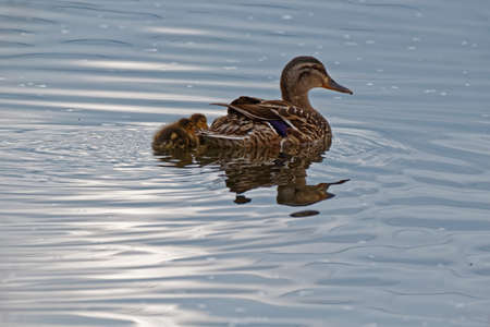 A Mallard Duck swims with two ducklings. These ducks can be found in both rural and urban areas. Stock Photo