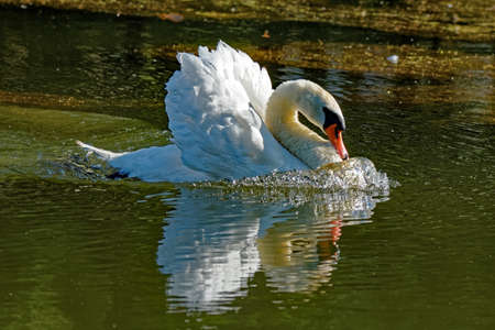 A Mute Swan swims aggressively across the water. The swan is raising it's wings in display and speed is causing the water to swell in front of it.