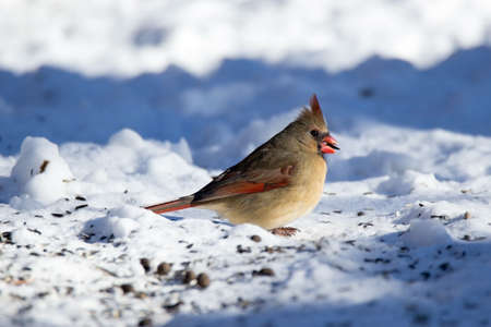 snow cardinal: This beautiful Cardinal posed with a seed in her beak. These birds can be found in Iowa year-round but are especially beautiful in the snow where their brilliant plumage stands out. Stock Photo