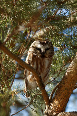 A curious Northern Saw-Whet Owl is perched in an evergreen tree. These tiny owls migrate south to Iowa for the winter months.