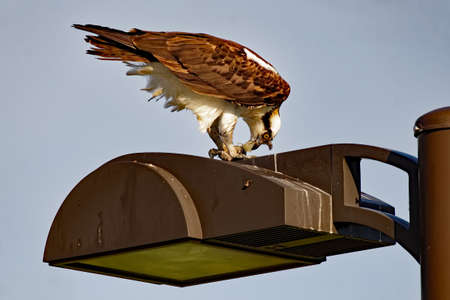 An Osprey perches on a light pole eating a fish. These large hawks are comfortable in urban settings.