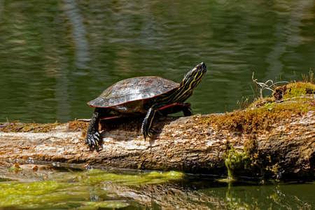 그려진 거북이는 일지에 바람을 불고 있습니다. 날씨가 따뜻해지면이 작은 거북이가 스스로 자고있는 곳에서 발견 될 수 있습니다.