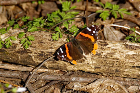 A Red Admiral Butterfly rests on a log. These pretty butterflies begin to appear in Iowa starting in April.
