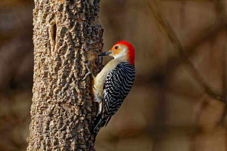 A Red-Bellied Woodpecker drums on a tree. These talkative woodpeckers are fun to watch as they wander around the woods. They will often be found at bird feeders and have been known to attack other aggressive birds like Starlings. Stock Photo