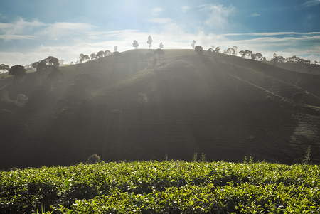 mornings: Title :  Mornings Glory In The Tea Plantation. Description :  Beautiful sunray in the morning in the tea plantation mountain