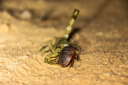 scorpion cought a roach