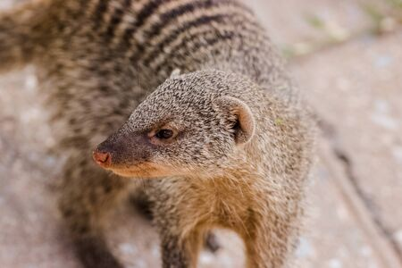 capture of mongoose in the grass portrait