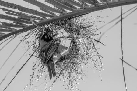 capture of a weaver building it nest in africa