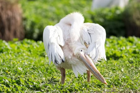 capture of white pelican oiling its fethers Imagens