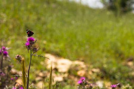 judean hills: Colored butterfly on a purple flower of milk thistle (Centaurea iberica),spring