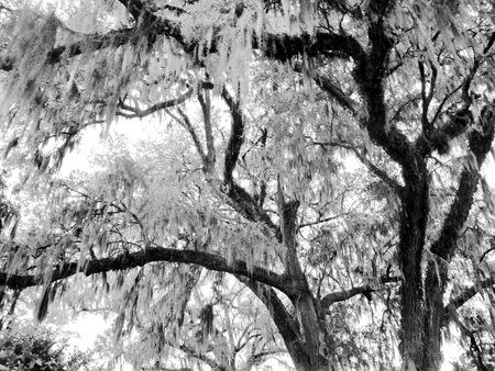 in charleston: black and white tree with Spanish Moss in Charleston