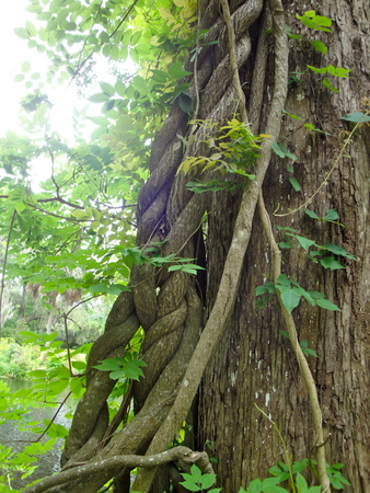 twisted tree at Magnolia Plantation in Charleston Imagens
