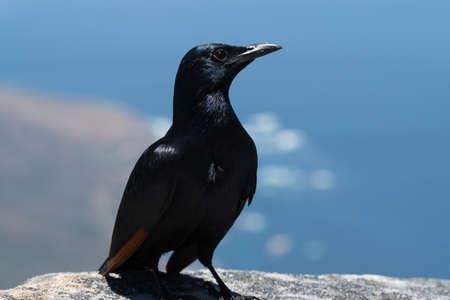 Crow on Table Mountain Stock Photo