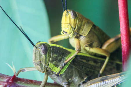 close up photo of a grasshopper carrying another smaller grasshopper