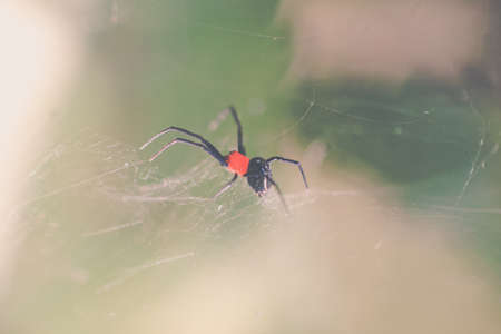 black - red small spider standby on it's web Stock Photo
