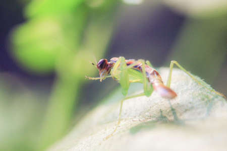 praying grasshopper babies on leaves with a blurred background