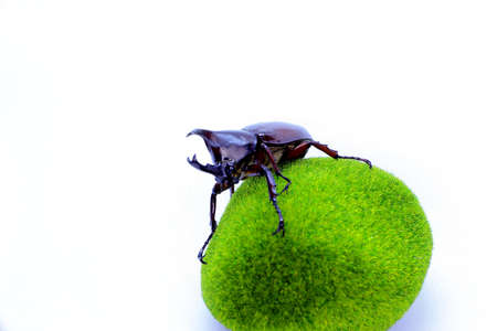 Horned beetle is a pest for coconut farmers, likes to eat coconut flowers so that it can cause crop failure, horns only exist in male beetles, in females there are only small tentacles on his head