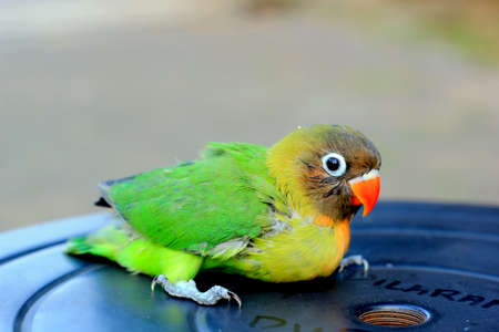 a one-month-old young love bird that has not been able to fly, is breed by small breeders, the baby birds are immediately separated from the mother after hatching, so that the mother can mate immediately