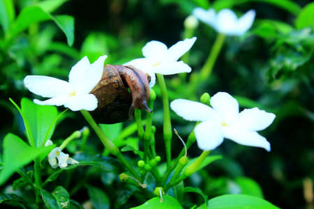 small snails that eat flower buds, trying to climb from the bottom so they can enjoy the buds that are still fresh, snails move very slowly, quite impressive being able to climb the tree 版權商用圖片