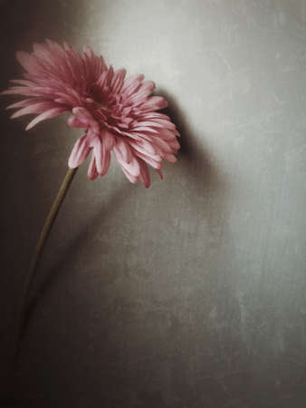 seem: Romantic pink gerbera on gray background, grunge filter to Seem to pastel painting. Suitable for greeting cards