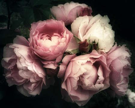 옛 그림 아직도 인생처럼 보이는 어두운 배경에 핑크 장미 꽃의 부드럽고 로맨틱 꽃다발, 빈티지 필터, 스톡 콘텐츠