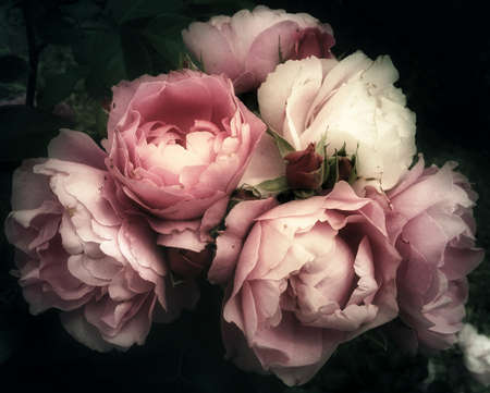 Soft and romantic bouquet of pink roses flowers on a dark background, vintage filter, looking like an old painting still life