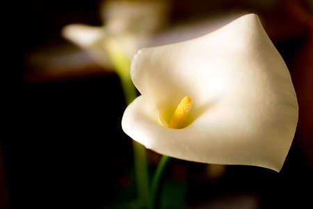 Flowers of white calla (Zantedeschia) on a dark background, soft focus Reklamní fotografie