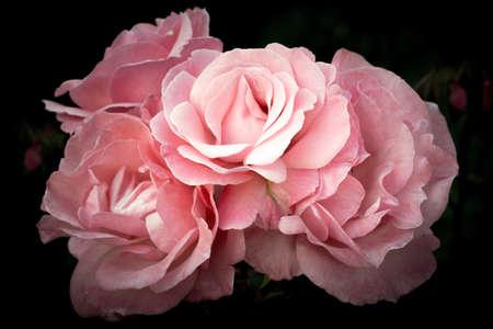 Flowers of pink roses on a dark background, soft and romantic vintage filter Reklamní fotografie