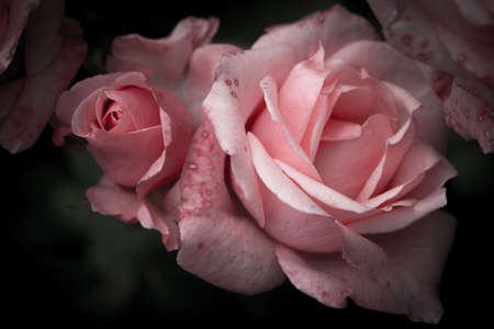Pink rose with bud, vintage flowers