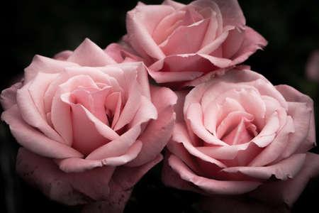 Pink roses, vintage flowers on a dark background