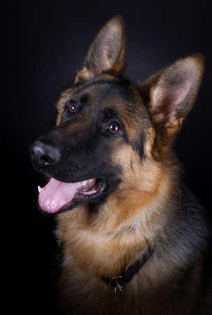 black out: German shepherd dog portrait on black background