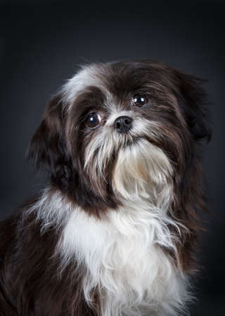 Shih Tzu in front of a black background  photo