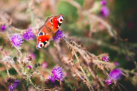 peacock butterfly: Peacock mariposa en las flores violetas