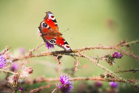 allegory painting: Peacock butterfly on violet flowers Stock Photo