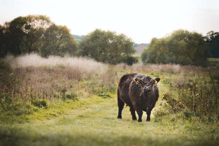 watermill: Galloway cattle Stock Photo