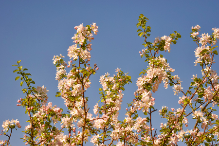 Branch blossom apple tree flowers and blue sky