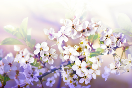 Light background with Branch of blossom cherry flowers Zdjęcie Seryjne
