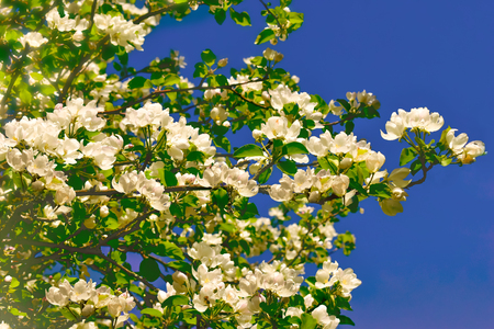 Branch of  white blossom apple tree flowers and blue sky Zdjęcie Seryjne