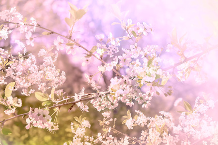 Light background with branch of blossom cherry flowers
