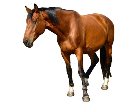 Horse standing isolated on white Banque d'images