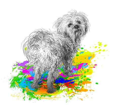 Maltese poodle portrait Illustration