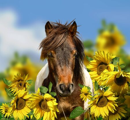 Pony with sunflowers looking at camera