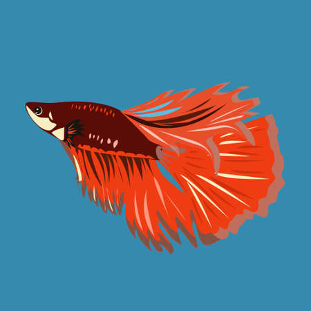 Fighting fish a brisk fish from the macropod family is also called the Siamese Cockerel Ilustração