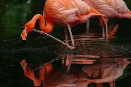 Colourful Flamingo feeding in the morning. photo