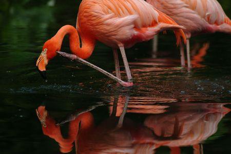 Colourful Flamingo feeding in the morning. photo