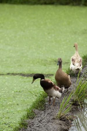 Obviously one duck is having different view. Stock Photo