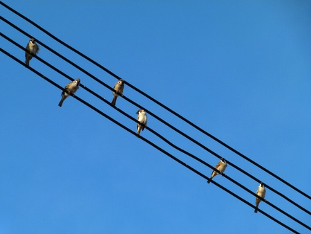 Sparrows on wires like musical notes